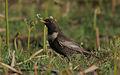 Flickr - Rainbirder - Ring Ouzel female.jpg