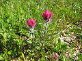 Flickr - brewbooks - Castilleja parviflora var. oreopola (1).jpg