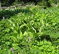 Flickr - brewbooks - Corydalis, Corn Lily and Mertensia.jpg