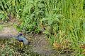 Flickr - ggallice - American purple gallinule.jpg