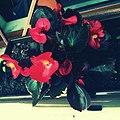 Flora Kuksiane,lulekuqe.jpg
