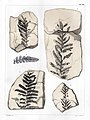 Flora fossilis formationis oolithicae = (Tab. XVIII) (7294208568).jpg