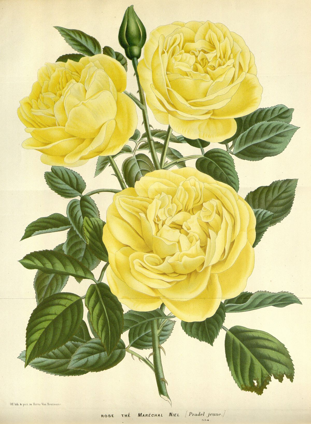 rosier grimpant jaune