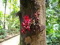 Flores do cacauieiro.JPG