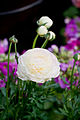 "Flower, Persian buttercup ""M-White"" - Flickr - nekonomania.jpg"