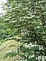 Flowering Tree P6220381.jpg
