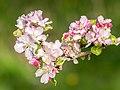 Flowers of Malus domestica (3).jpg