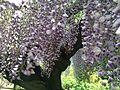Flowers of wisteria in Kawachi Wisteria Garden 20150509-9.JPG
