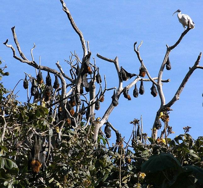 File:Flying Foxes at the Botanic Gardens (3590293946).jpg