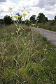 Foeniculum vulgare vallee-de-grace amiens 80 21072007 2.jpg