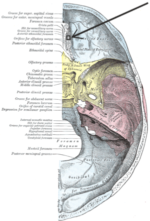 "Anterior ethmoidal foramen - Base of the skull. Upper surface. (On the left, ""Anterior ethmoidal foramen"" is the 7th label from the right.)"
