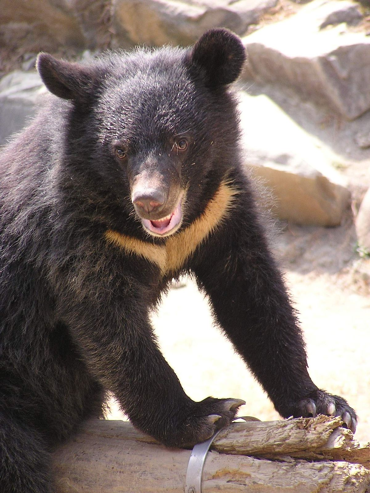 Formosan black bear - Wikipedia - photo#5