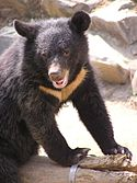 Formosan black bear.