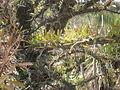 Fouquieria fasciculata 2c.JPG