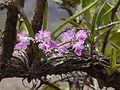 Fox Brush Orchid (3623779977).jpg