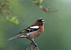 Fringilla coelebs -Airmyn, East Riding of Yorkshire, England -male-8.jpg