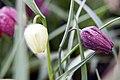 Fritillaria meleagris 3zz.jpg