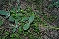 Froelichia tomentosa- Río Negro, Palmar, Suelo arenoso en claro del bosque ribereño al margen del Río Negro 6.jpg