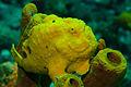 Frogfish (4579537380).jpg