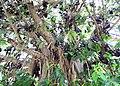 Fruit bats on Banyan tree in Andhra Pradesh PIC 0122.jpg