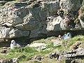 Fulmars nesting, Papa Westray - geograph.org.uk - 176066.jpg