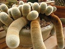 Fuzzy cactuses.jpg