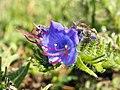 GOC Bengeo to Woodhall Park 048 Viper's-bugloss (Echium vulgare) (8102464370).jpg