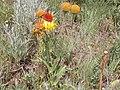 Gaillardia aristata (3727314480).jpg