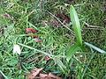 Galanthus woronowii03.jpg