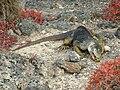 Galapagos land iguana feeding.JPG