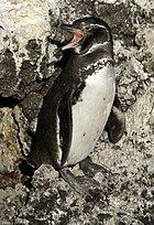 Galapagos penguin (Spheniscus mendiculus) -Isabela2.jpg