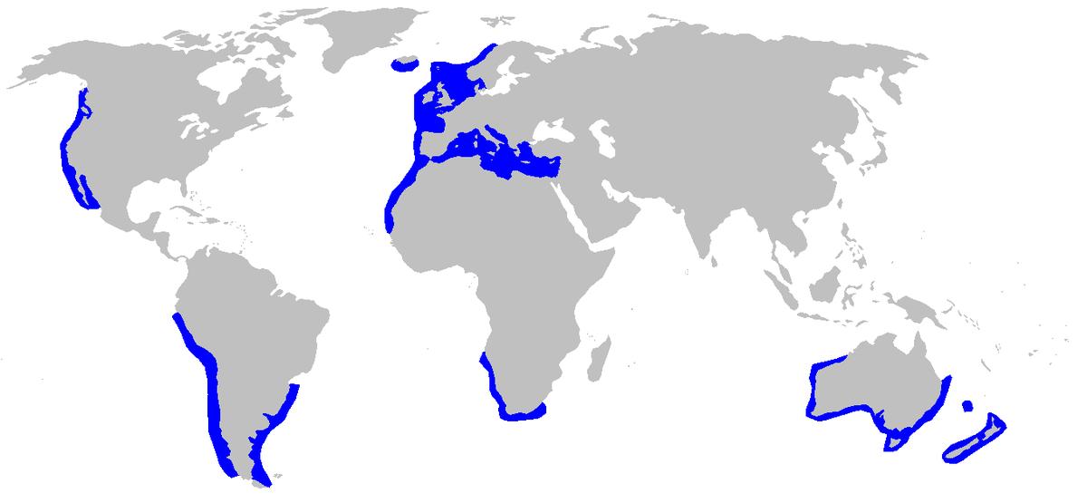 Galeorhinus galeus - Wikipedia, la enciclopedia libre