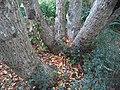 Galpinia transvaalica bark - Kirstenbosch Botanical garden - 3.jpg