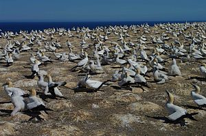 Gannet colony cape kidnappers