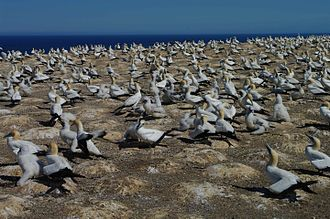 Cape Kidnappers - The gannet colony at Cape Kidnappers