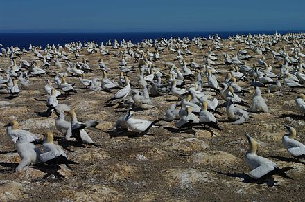Gannet colony on Cape Kidnappers Gannet colony cape kidnappers.jpg