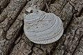 Ganoderma sp. - London, Ontario 2015-04-19 (02).jpg