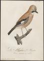 Garrulus glandarius - 1800-1812 - Print - Iconographia Zoologica - Special Collections University of Amsterdam - UBA01 IZ15700015.tif