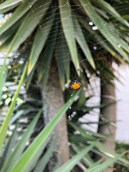 spiny orb weaver on web between tropical trees