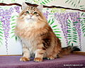 Gatto Siberiano golden blotched.JPG