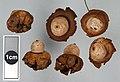 Geastrum saccatum 28309240.jpg