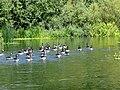 Geese close to Wansford Lock - August 2013 - panoramio.jpg