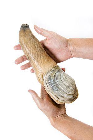 Geoduck - A live specimen of Panopea generosa
