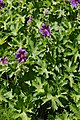Geranium × magnificum (1990-130-B) Plant.JPG
