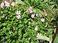 Geranium dalmaticum002.jpg