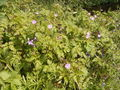 Geranium robertianum plant.jpg