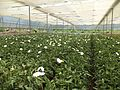 Gerbera Cultivation-in Poly-house.jpg