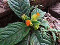 Gesneriad growing on Rio Frijolito bridge - Flickr - treegrow.jpg