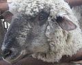 Gfp-sheep.jpg