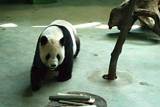 Panda diplomacy - Giant panda at Taipei Zoo